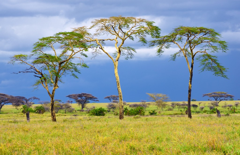 African savannah, Serengeti, Tanzania, acacia trees... height and shape determined by genetics and environment.