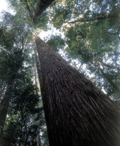 Tasmanian eucalypt forest: more than 700 species known around the world as gum trees.