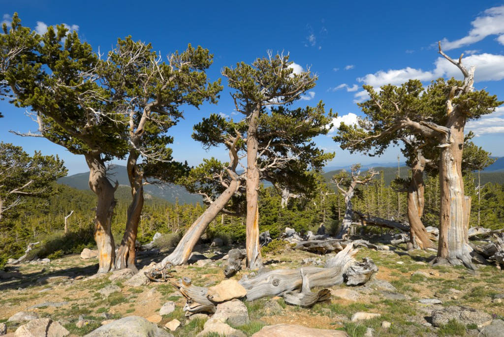 Bristlecone pines, Mount Evans, Colorado, USA.