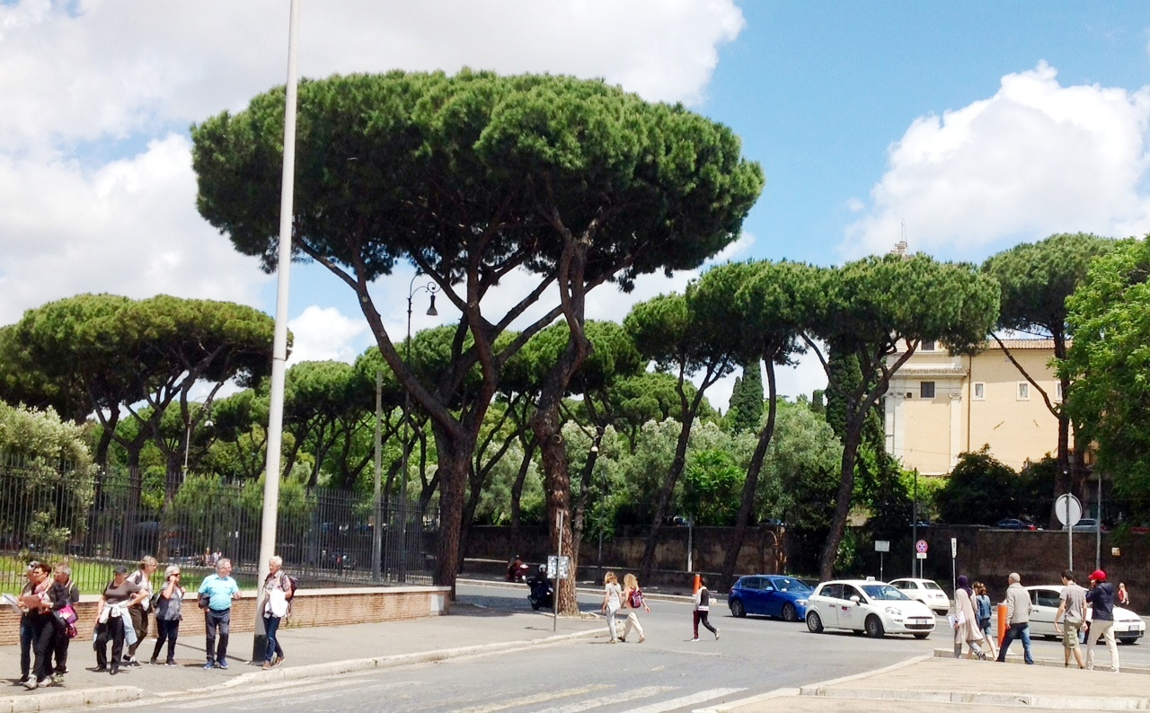 Stone pines - ubiquitous feature of the cityscape across Rome