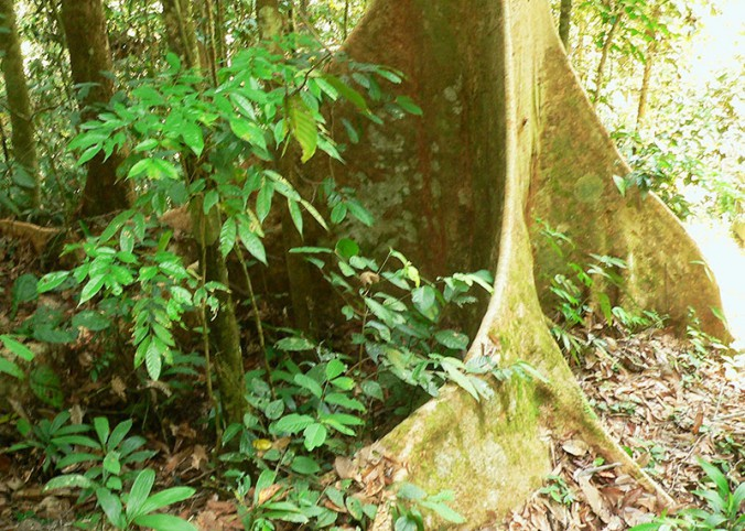 Buttress roots supporting tropical forest trees, Brunei