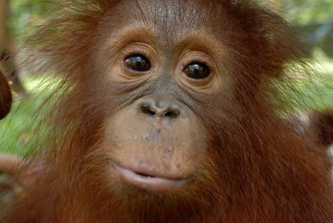 The orangutan ranks amongst our closest relatives and is perhaps the ultimate wildlife emblem of Southeast Asian forests.
