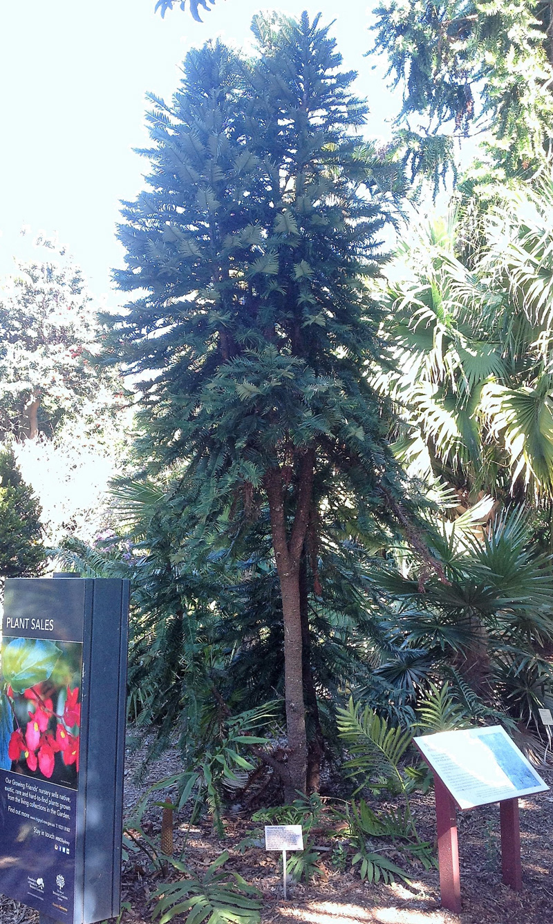 Wollemi pine in the Sydney Royal Botanic Gardens … one of the first seedlings from trees found in the wild.