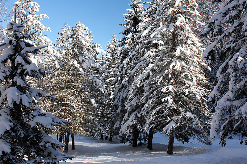Main tree species in boreal forests are conifers – pines, spruces, firs and larches – adapted to very cold climatic conditions.