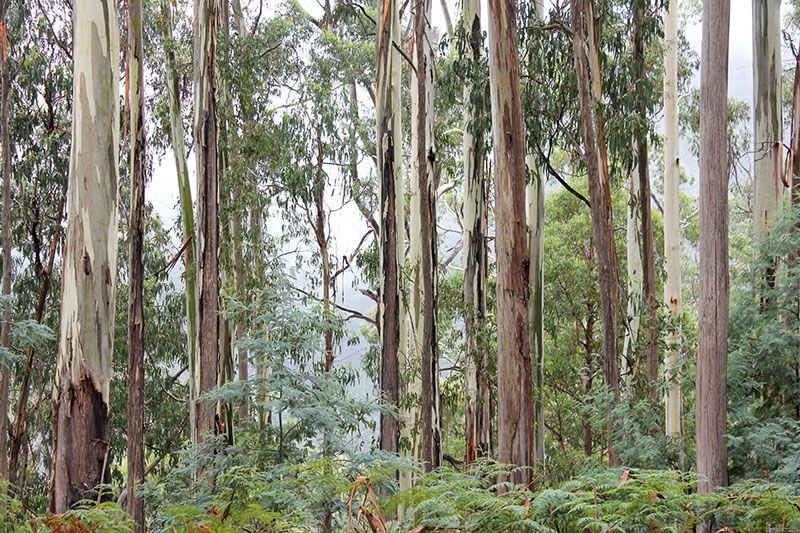 The impressive mountain ash forests of Victoria are for height, size and grandeur, unequalled among the world's hardwood trees.