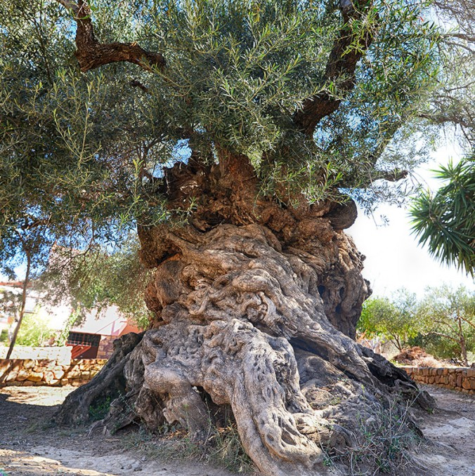 3000 year old olive tree … foremost tree in early human culture and commerce.