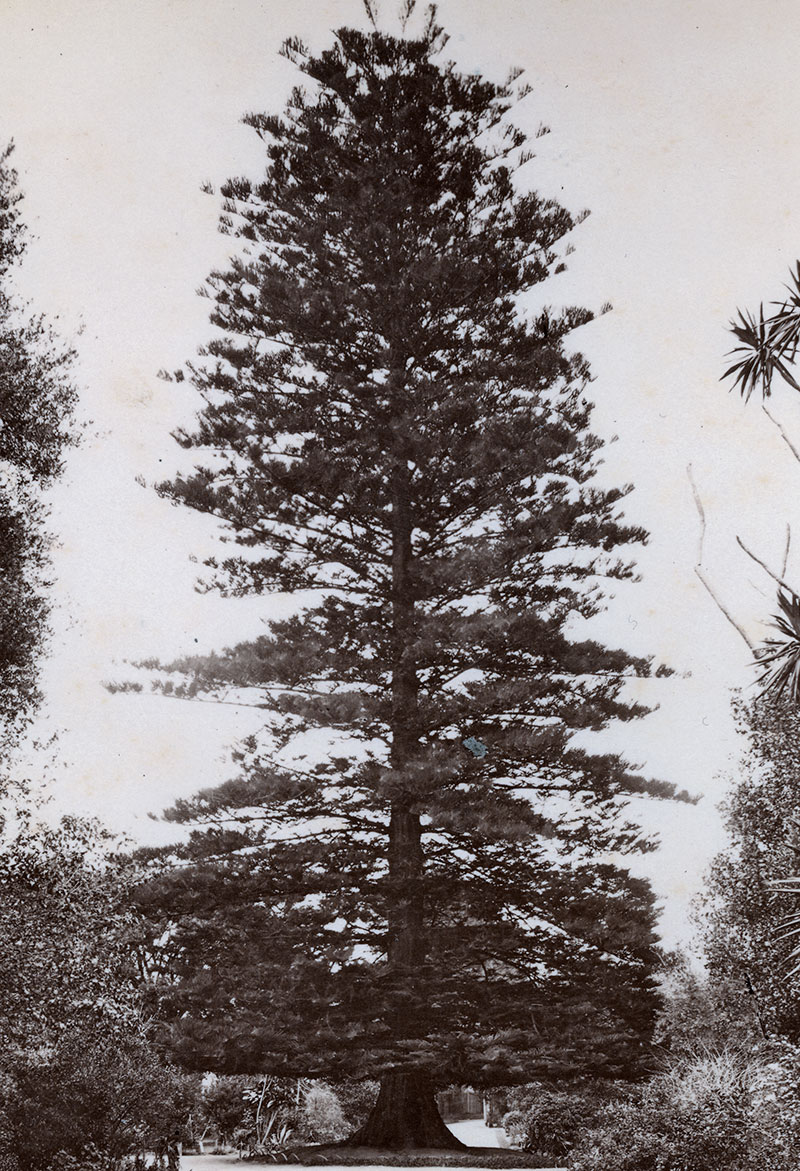 The Wishing tree, Sydney's Botanic Gardens, about 1880: Probably the most notable tree to have grown in the Gardens.
