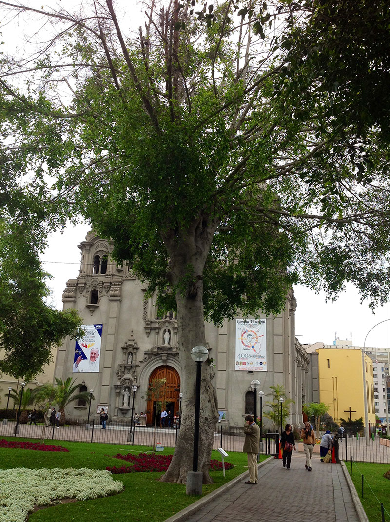 Fig (Ficus spp.) tree in front of a Catholic church.