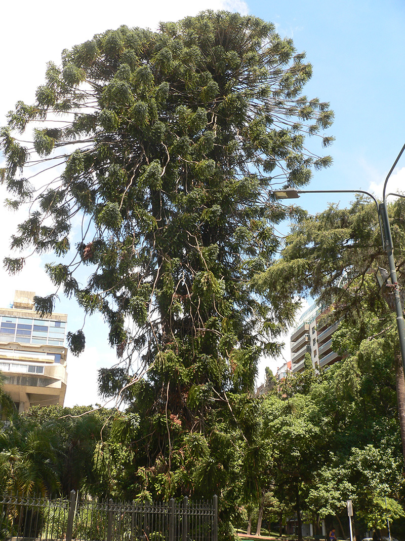 Distinctive umbrella form, mature Araucaria araucana trees a feature of the streets of Buenos Aires.