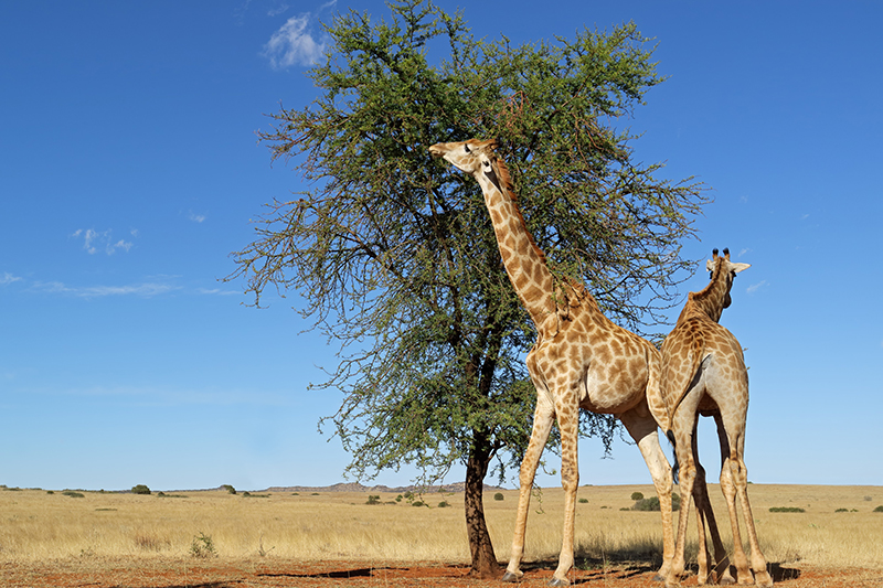 Umbrella thorn acacia trees pump toxic substances into their leaves to rid themselves of browsing giraffes.