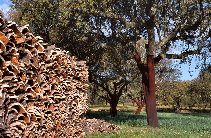 Harvesting Cork Trees