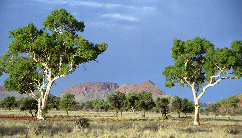 Ghost Gums in Central Australia