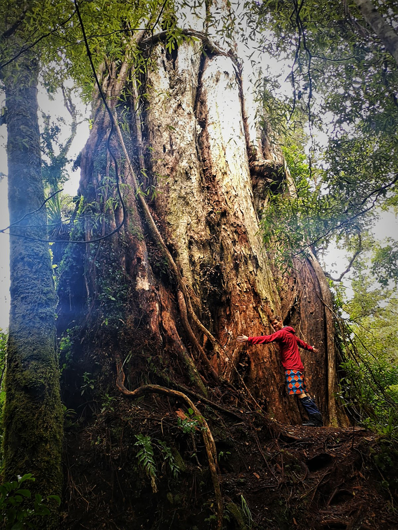 Akatarawa giant rātā in thick forest near Wellington.