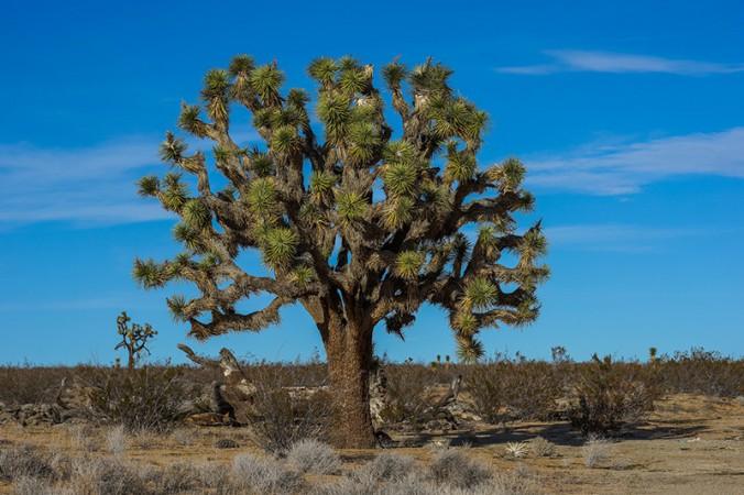 Joshua tree… sucking up water in California's Mojave desert.