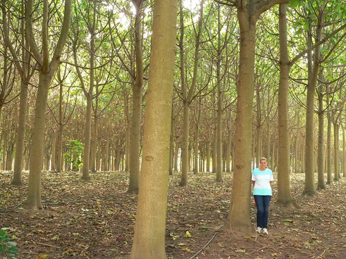 Paulownia plantation, Richmond, NSW