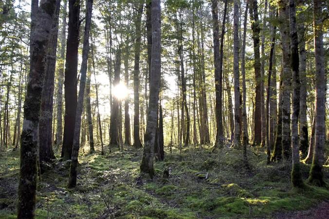 New Zealand beech forest.