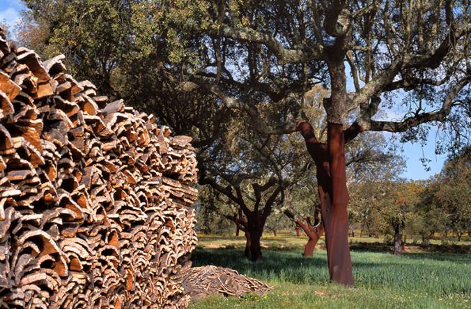 Harvesting Cork Trees