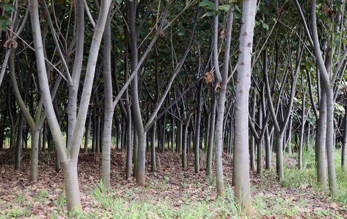 Bulsa Plantation