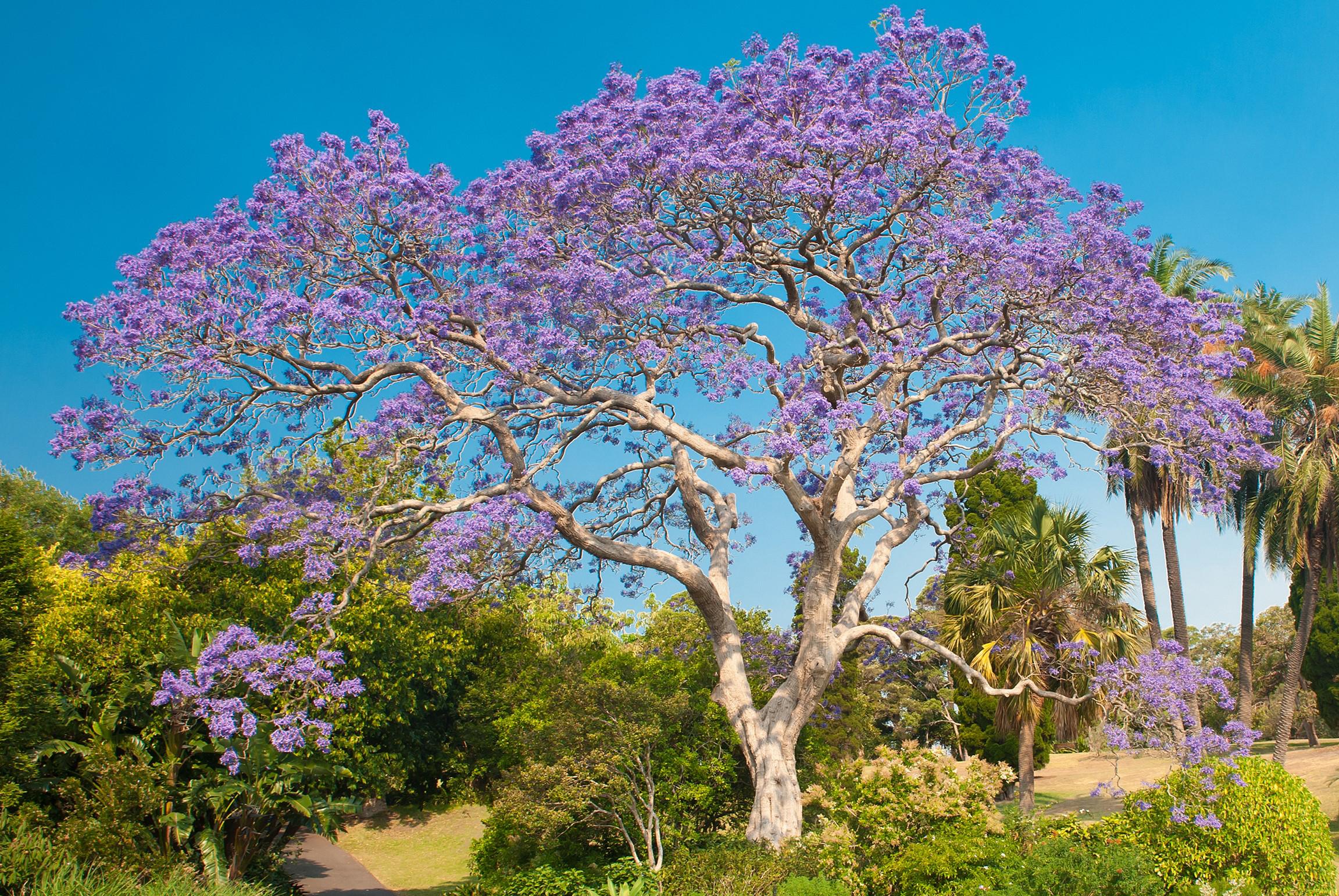 Jacaranda tree, Sydney.