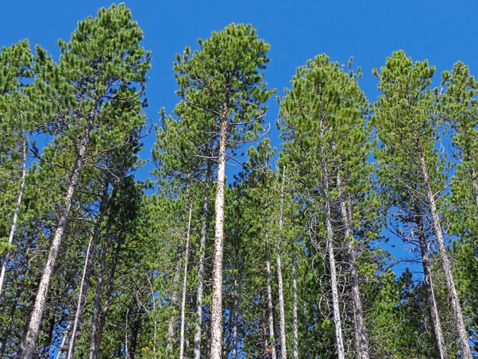 Lodgepine forest